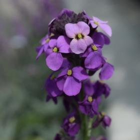 """Květina Erisinum """"Bowles Mauve"""""""