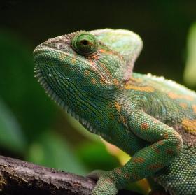 Chameleon v terariu.