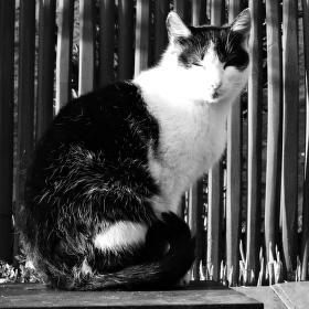 Kočičí Dáma