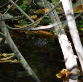stydlivá žába