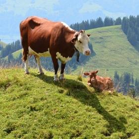 Modelka kráva Milka