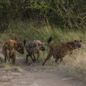 3 hyeny pro štěstí v roce 2016