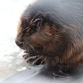 The Beaver, Bobr