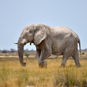 slon NP Etosha Namibie