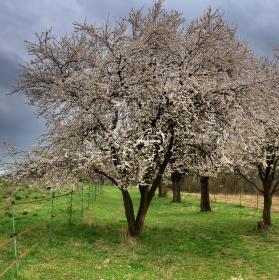 já ti uteču ... fotit mě pod rozkvetlým stromem teda nebudeš...asi tak nějak to bylo :-)