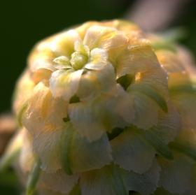 Samčí květ modřínu opadavého