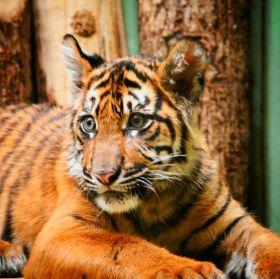 Mlade tygra