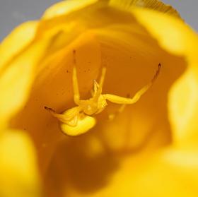 Pan pavouk, tentokrát v tulipánu :)