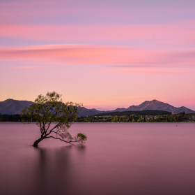Wanaka Tree