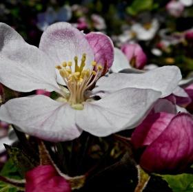 Jablůňka 2