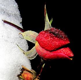 Růže a sníh