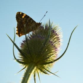 Motýl na štětce obecné