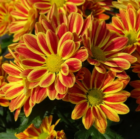 Chryzantéma (Chrysanthemum) neboli listopadka