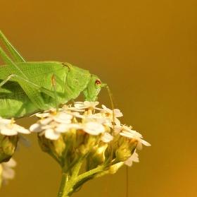 Kobylka na zářijové louce