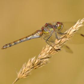 vážka obecná - starší samička