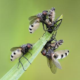 Hmyzomorka muší Entomophthora muscae (Cohn) Fresen. (1856)