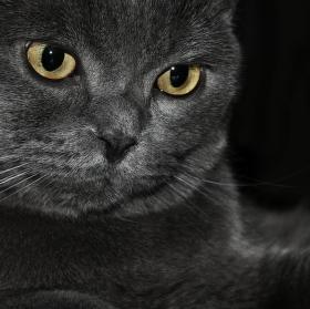 perská kočka..