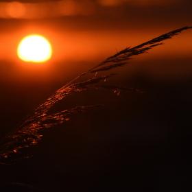 Obilí v západu slunce
