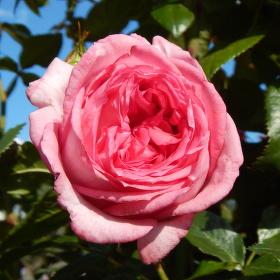 RŮŽE, Královna květin.