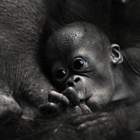 Opičák...