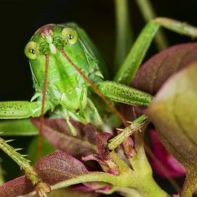 Kobylka zelená (Tettigonia viridissima)