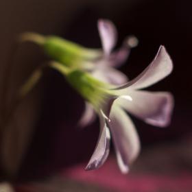 Z kvítečku se zrodil květ