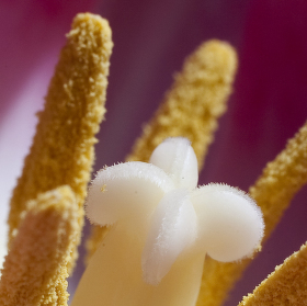 květ tulipánu
