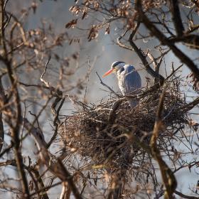 Hnízdící volavka