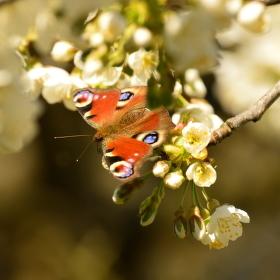 Mlsoun motýlí