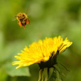 Včela kolibříkem