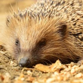 Ospalý ježek