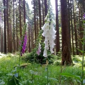 Náprstníky v prosluněném lese