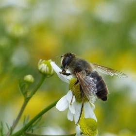Pracovitá včelka na heřmánku.....