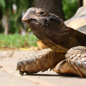 Zabloudila k nám želva