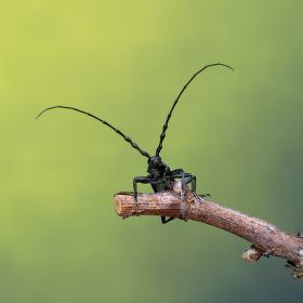 tesařík bukový - cerambyx scopolii