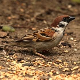 Vrabčák jak vidí něco k snědku letí i ke slepicím :)