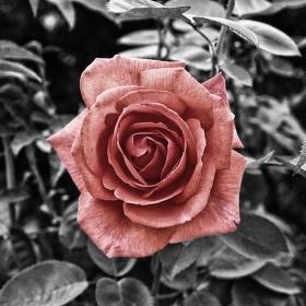 Růže 2