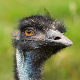 Emu hnědý (Dromaius novaehollandiae)