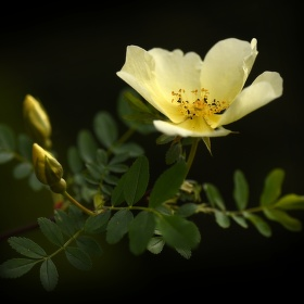 Žlutá růže 2