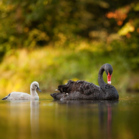 Rodinka  (labuť černá)