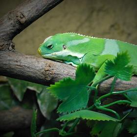 Zelenáč