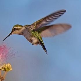 Kolibřík zahradní