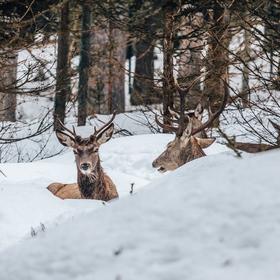 Polední odpočinek jelenů