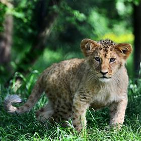 Lvíče