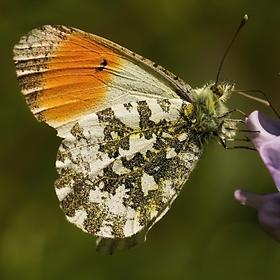 Motýlek z Otic