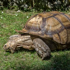 Želva na pastvě