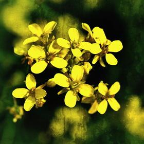 Žluté jaro
