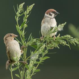 Vrabčáci ...