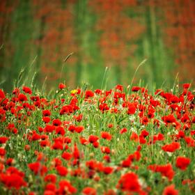 vzpomínka na rozkvetlé pole plné vlčích máků