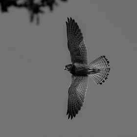 Letovka dravce